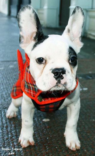 And my wee French Bulldog pal Popeye says Happy New Year ! Glasgow today