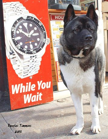 Coco the Akita.. As you can see he's a watch dog (sorry!) Glasgow today
