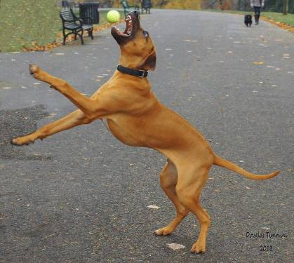Jaws 4  Puppy Ziggi the five month old Rhodesian Ridgeback catches somebodies ball in Kelvingrove Park Glasgow.. Pal Karin made sure it wasn't mine next!