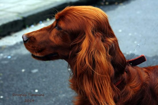 Meet the bold Irish Setter Buster.. In Glasgow an hour ago!
