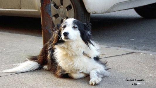 Shadow The Sheepdog keeping a vigil for her owner in Glasgow.