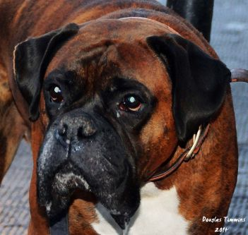 The big darling that is Buster The Boxer... Glasgow 1 hour ago.